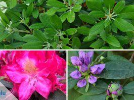 Rhododendron umpflanzen - die beste Zeit