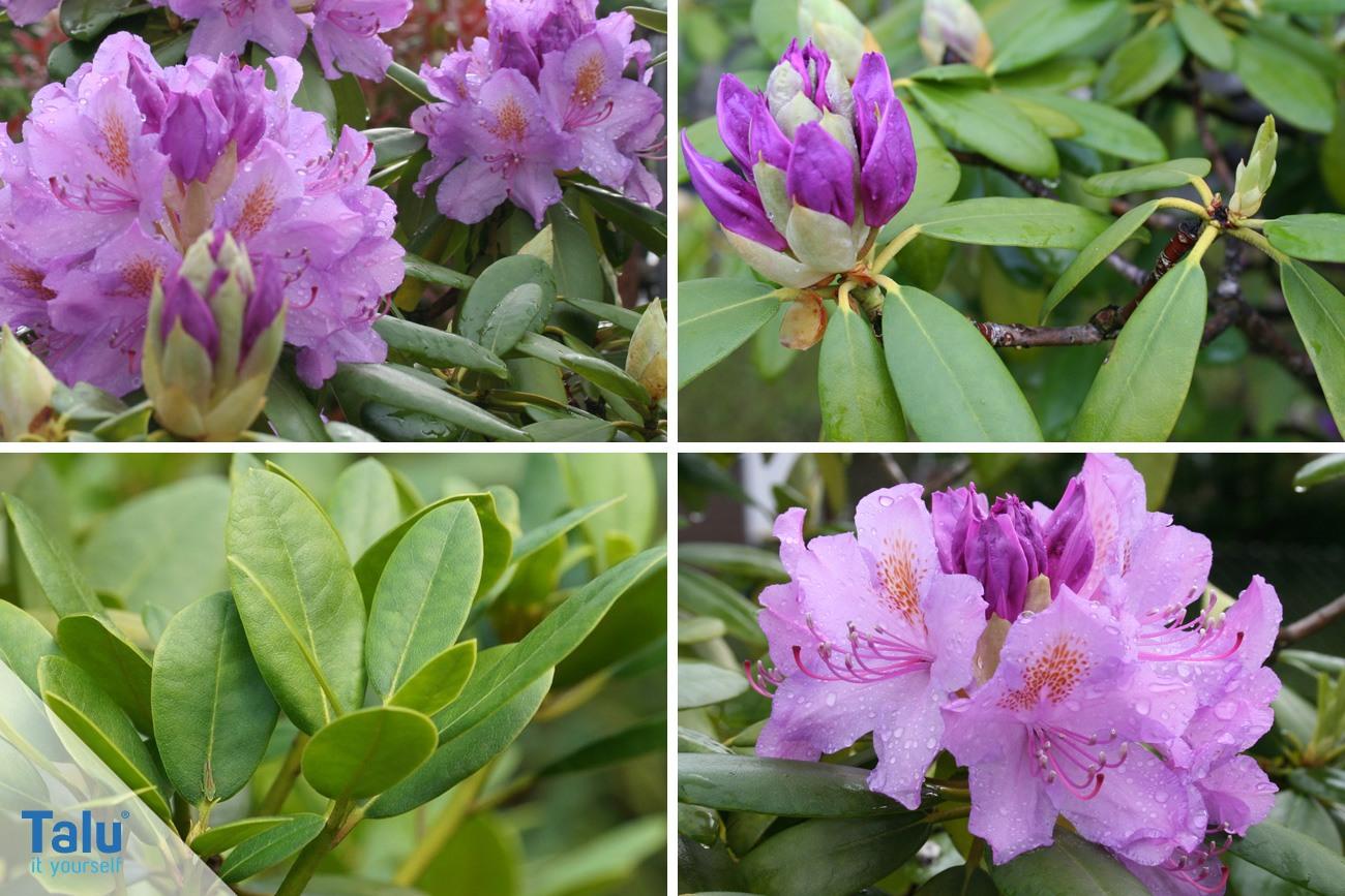 Extrem Rhododendron umpflanzen - die beste Zeit - Talu.de TX03