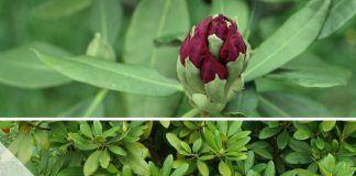 Rhododendren schöne alte Arten