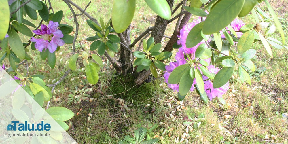 Rhododendron Erdbeschaffenheit