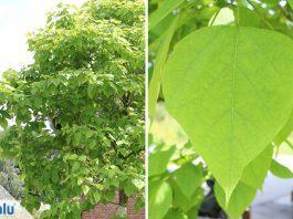 Kugel-Trompetenbaum Nana