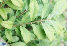 Spindelstrauch (Euonymus)