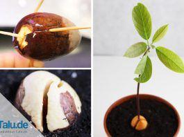 Avocadokern selbst einpflanzen und Pflanzen daraus ziehen