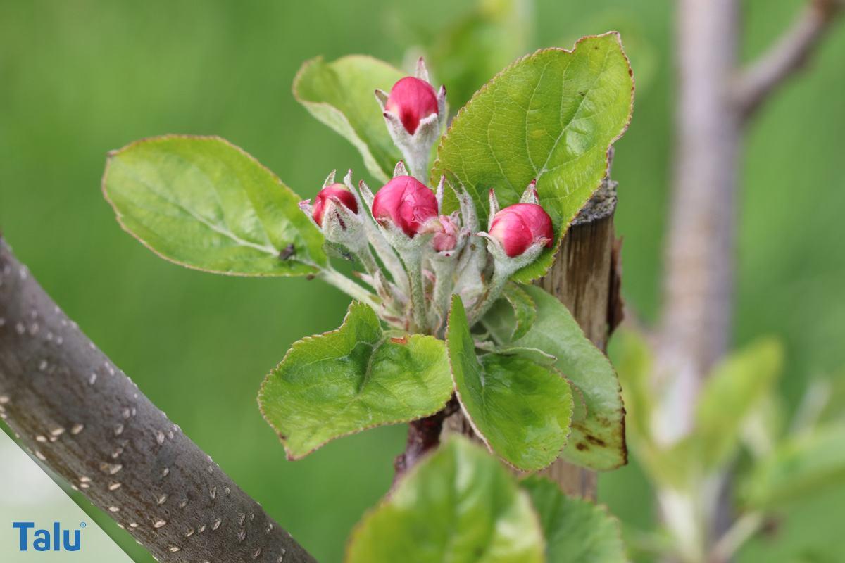 Blüte vom Apfelbaum