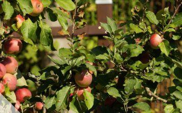 Zierapfelbaum