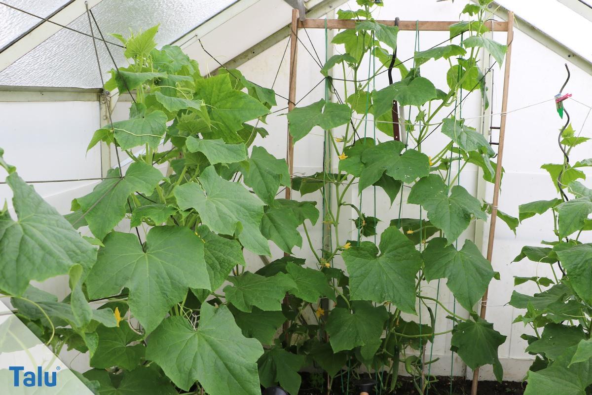 gurkenanbau pflanzen und pflege in garten und gew chshaus. Black Bedroom Furniture Sets. Home Design Ideas