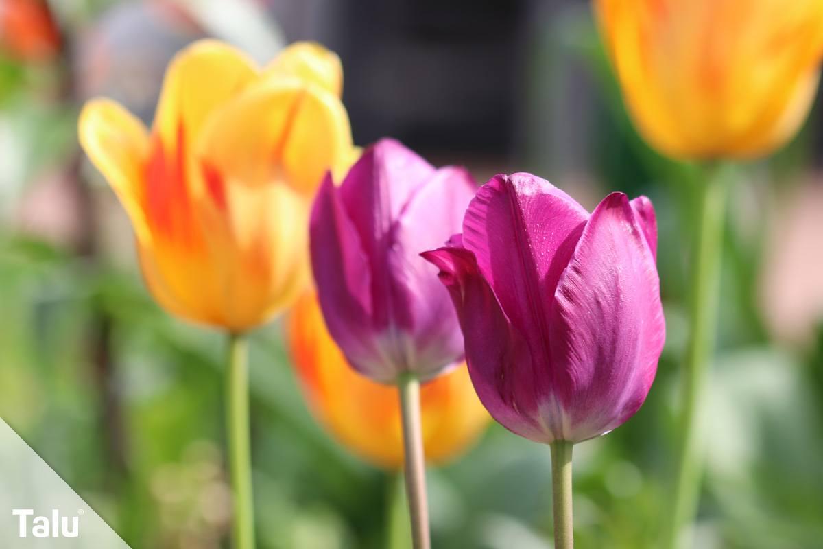 verbl hte tulpen darf man die bl ten schneiden. Black Bedroom Furniture Sets. Home Design Ideas