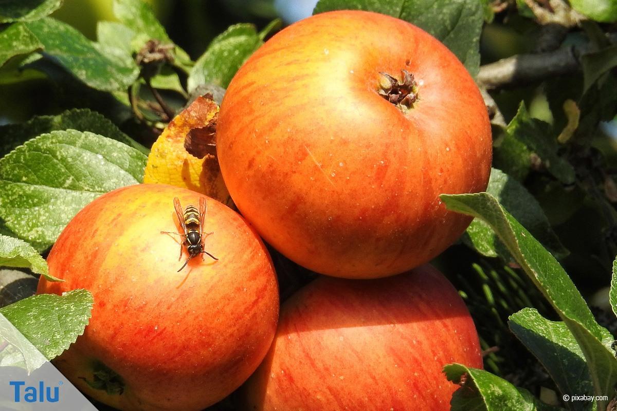 Wespe auf Apfel