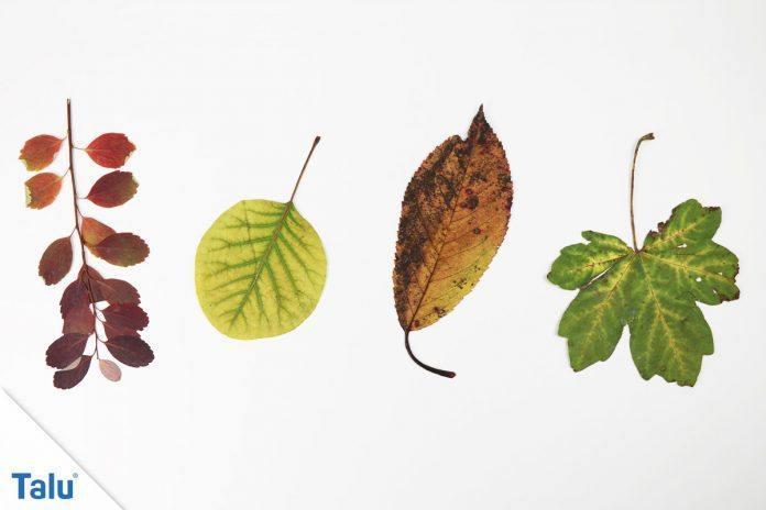 Blätter Pressen Und Trocknen So Erhalten Sie Die Farbe Talude
