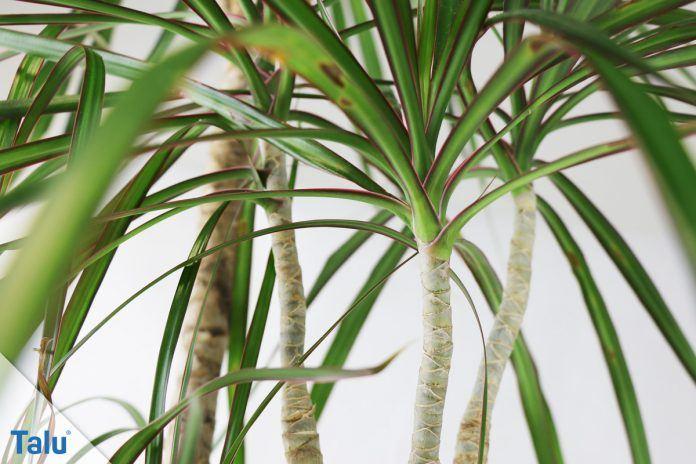 Drachenbaum Dracaena Marginata Pflege Der Palme Talu De
