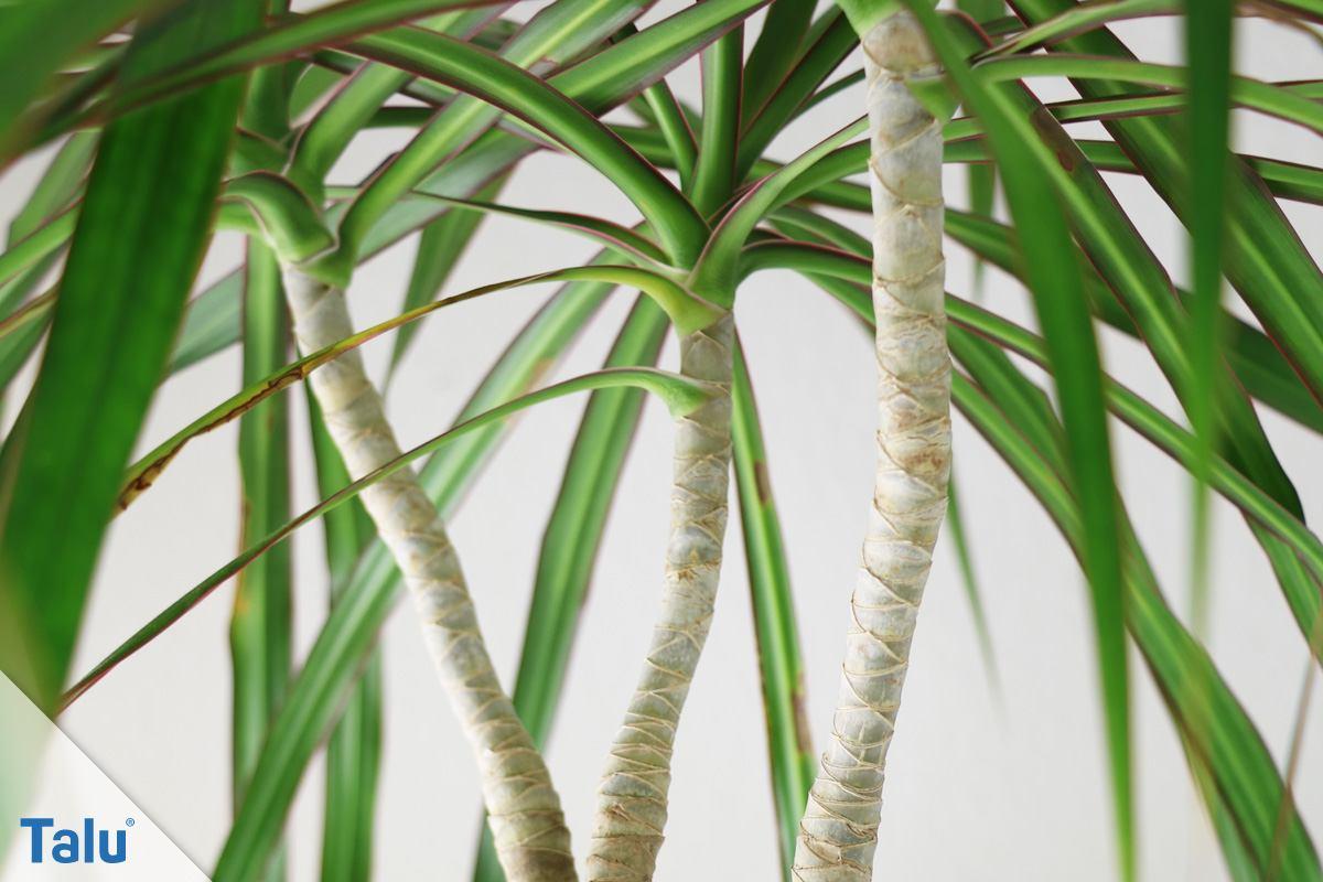 Drachenbaum pflegen