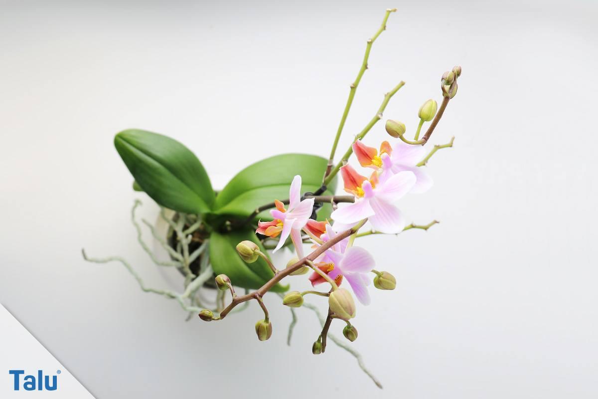 Luftwurzeln Bei Orchideen : orchideen luftwurzeln abschneiden so machen sie es richtig ~ Frokenaadalensverden.com Haus und Dekorationen