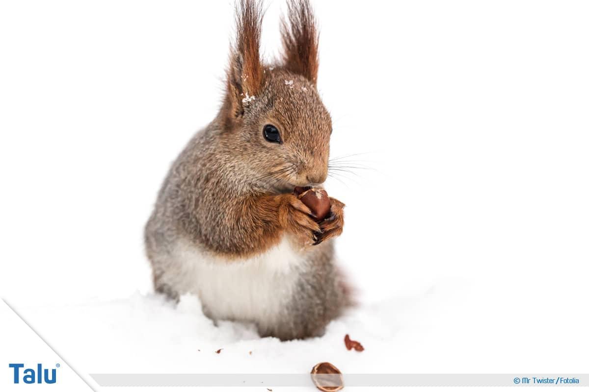 Kobel bauen, Eichhörnchen mit Futter