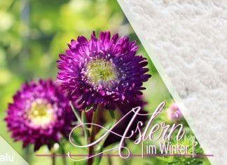 Sind Astern winterhart im Garten und Topf