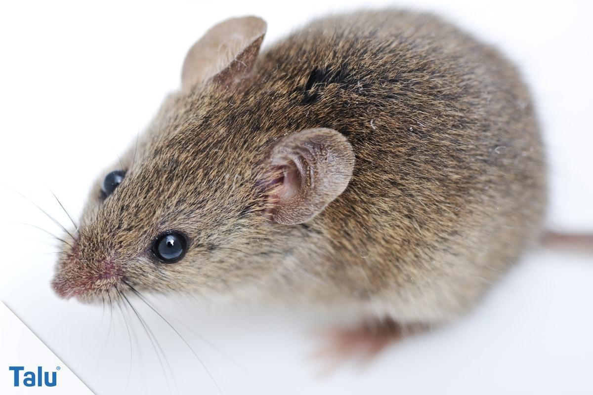 Ist das Rattenkot, Maus