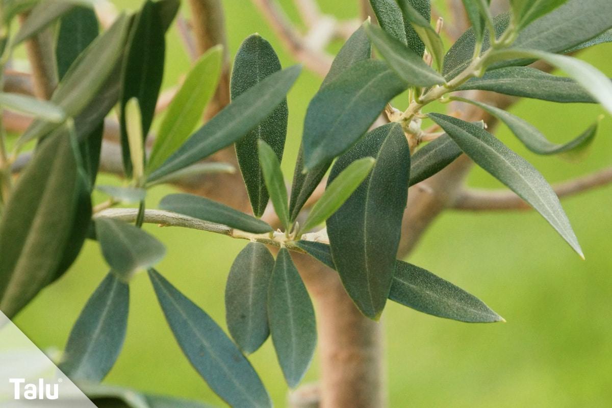 Oliven ernten, Olivenbäumchen