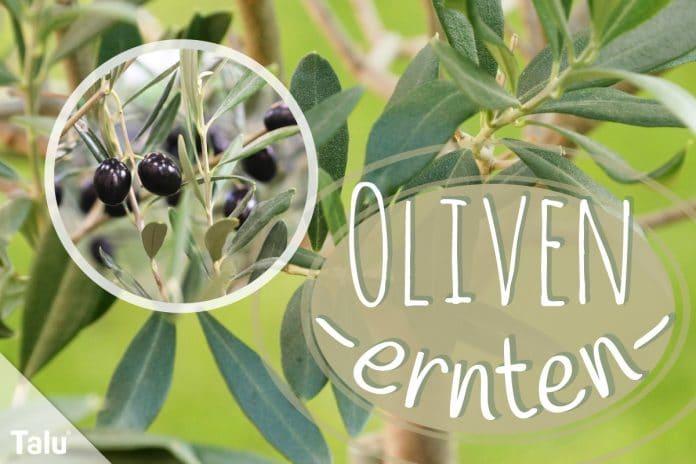 Oliven ernten, Erntezeit