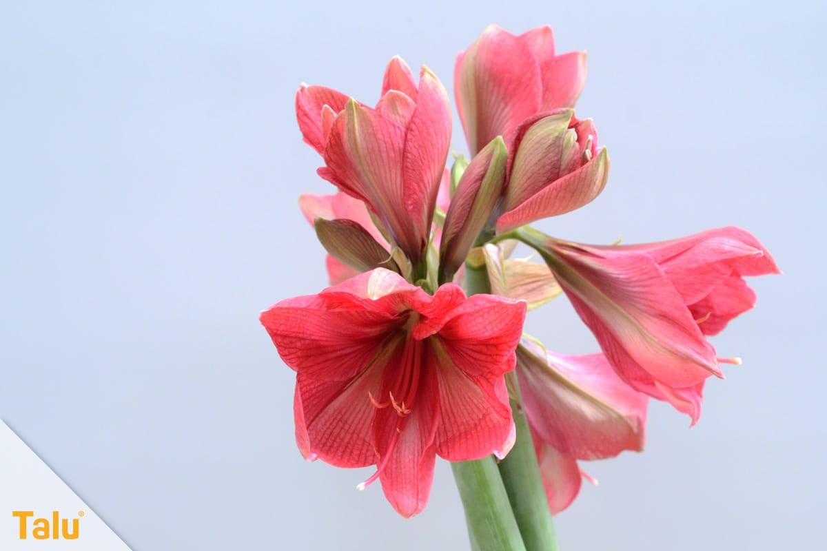 Amaryllis blüht nicht, Ritterstern mit Blüten