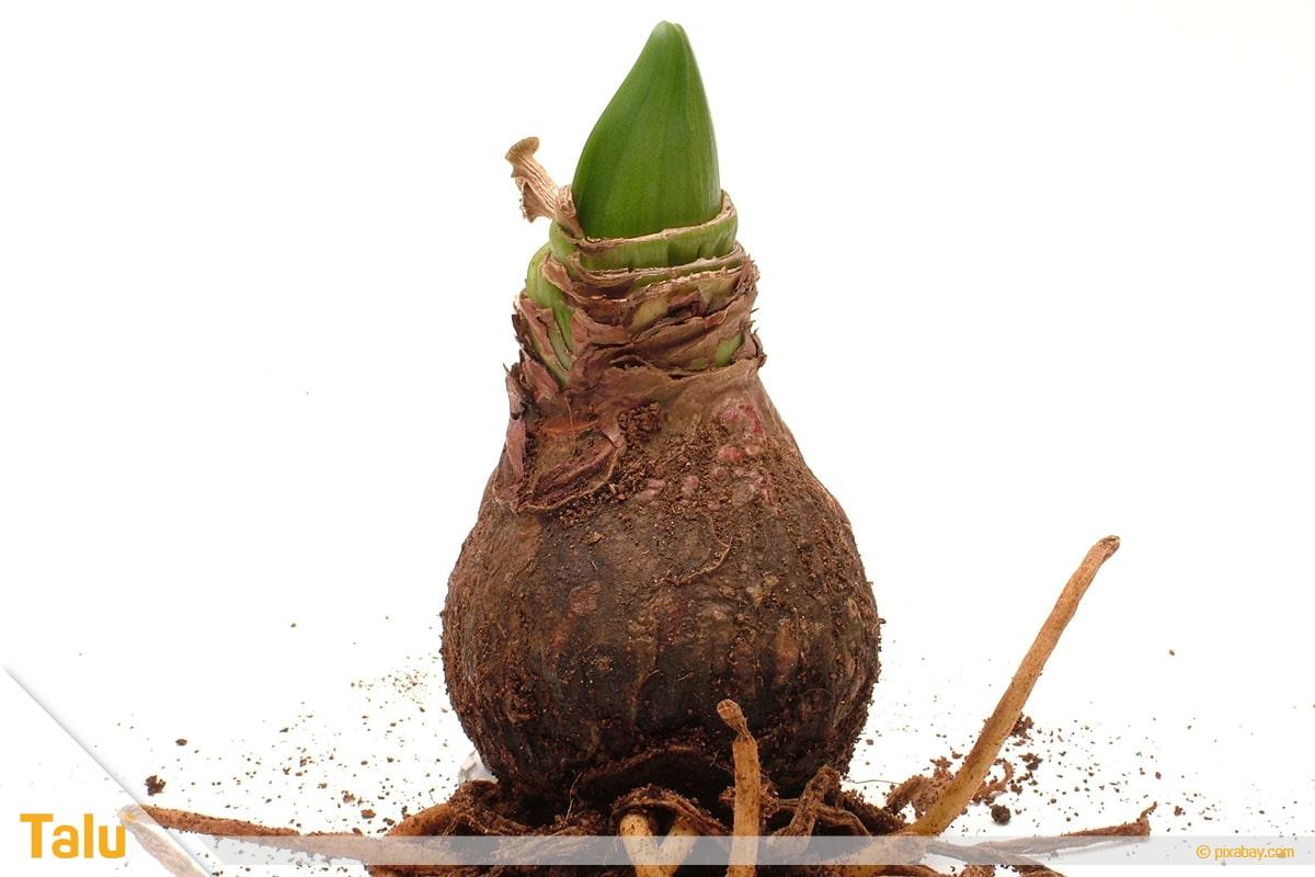 Amaryllis blüht nicht, keimende Zwiebel des Rittersterns