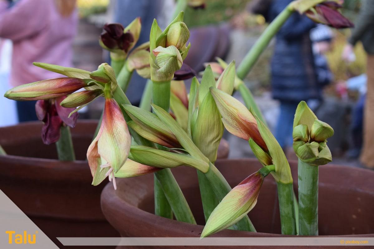 Amaryllis blüht nicht, Amaryllis-Pflanzen