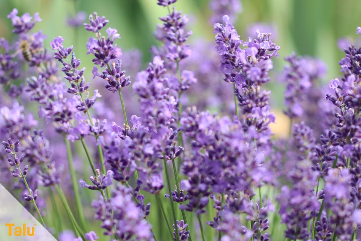 Ameisen im Hochbeet loswerden, Lavendel-Pflanze