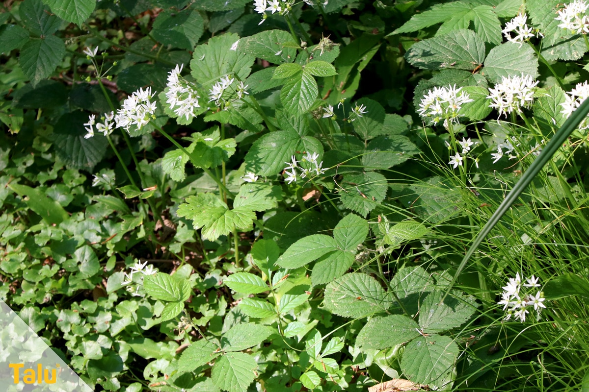 Gemeinsame Bärlauch blühend ernten: ist er trotz Blüten essbar? - Talu.de &QN_83