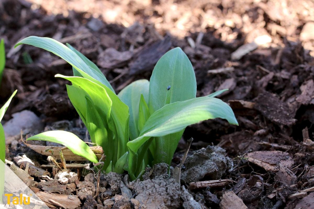 Bärlauch blühend ernten, Bärlauch-Blätter
