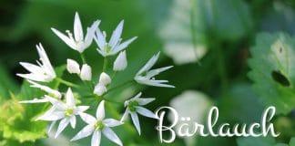 Bärlauch blühend ernten, ist er trotz Blüten essbar