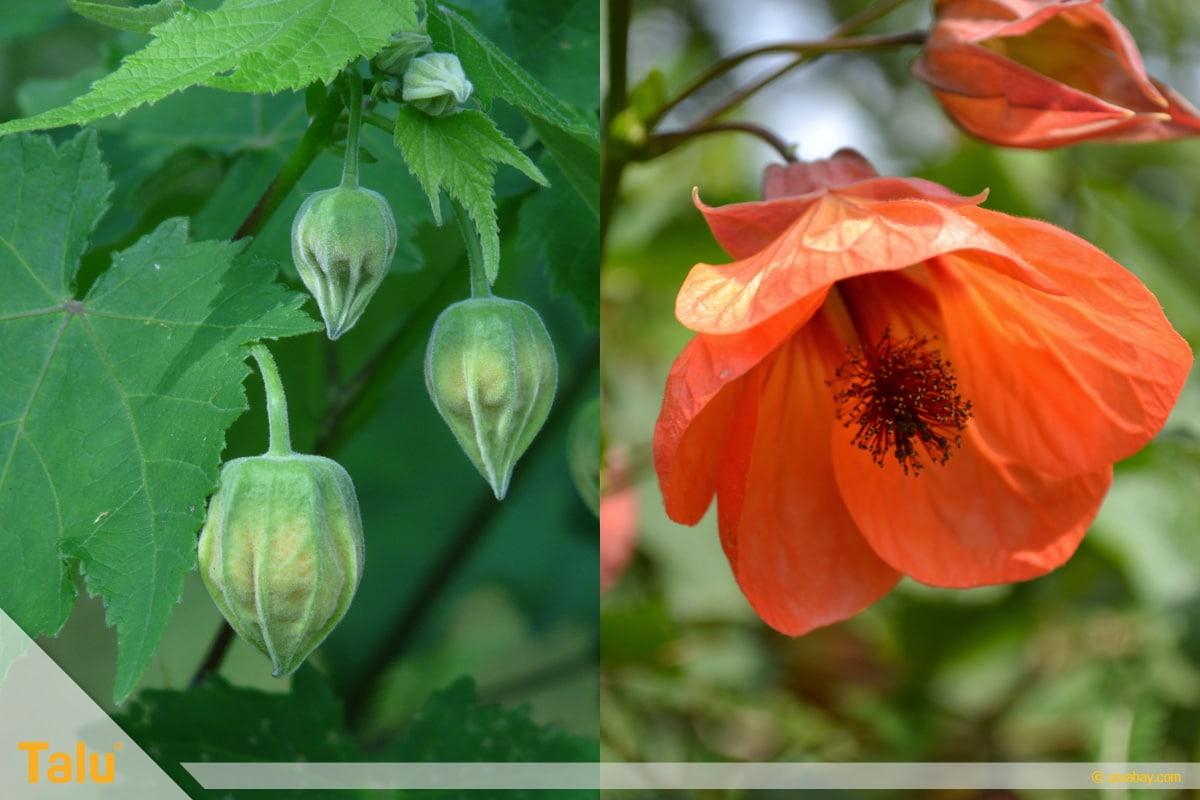 Sonne liebende Zimmerpflanzen, Schönmalve, Abutilon