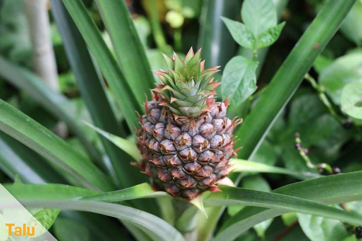 Sonne liebende Zimmerpflanzen, Ananas, Ananas comosus