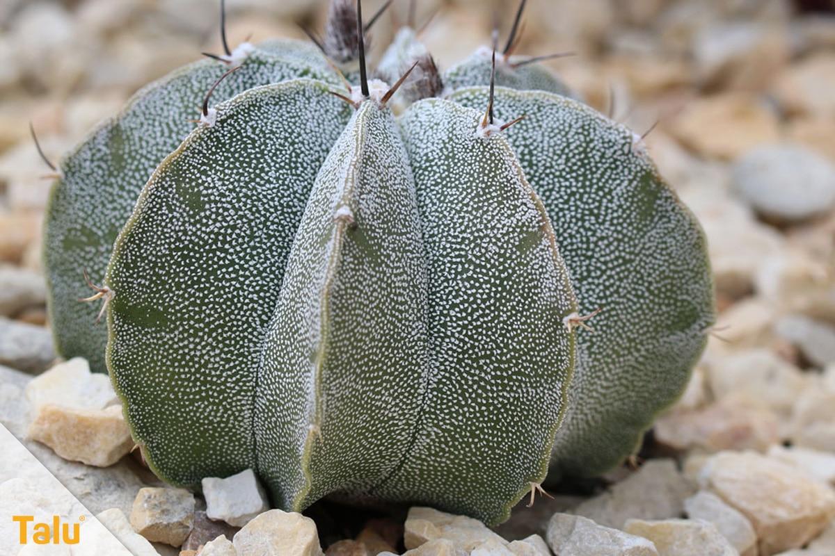 Sonne liebende Zimmerpflanzen, Bischofsmütze, Astrophytum myriostigma