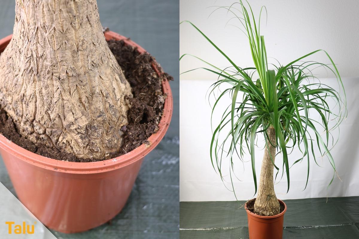 Sonne liebende Zimmerpflanzen, Elefantenfuß, Beaucarnea recurvata