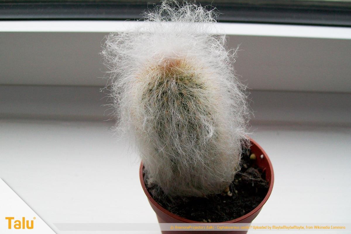 Sonne liebende Zimmerpflanzen, Greisenhaupt, Cephalocereus senilis