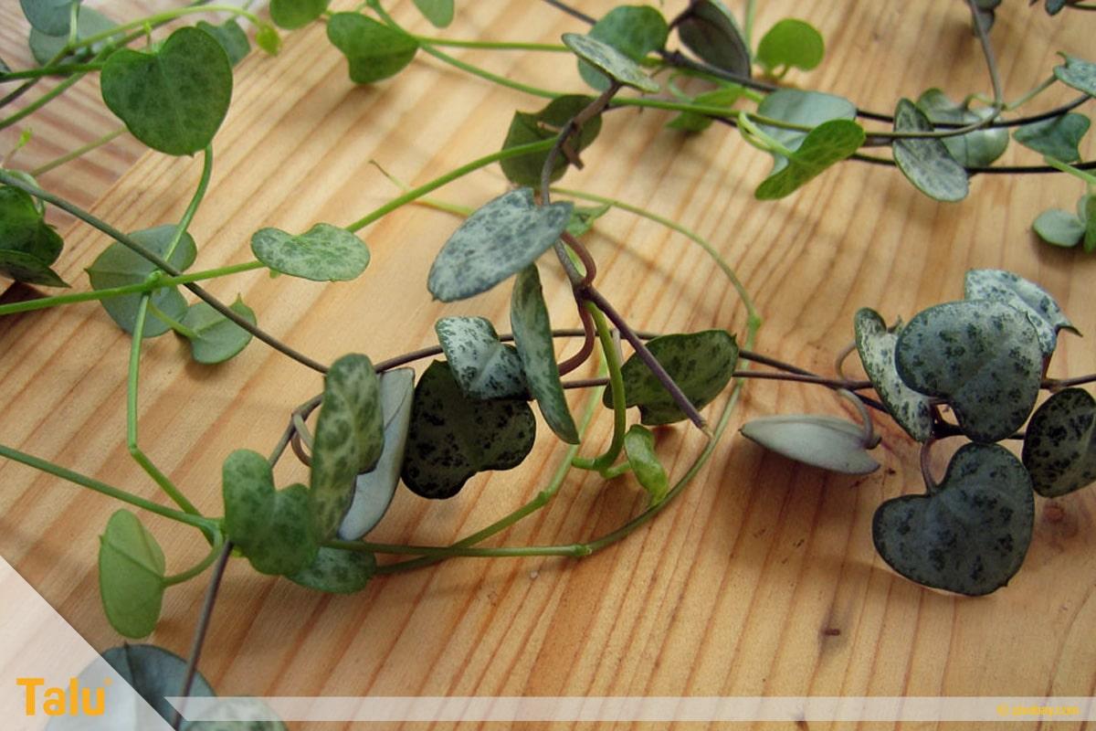 Sonne liebende Zimmerpflanzen, Leuchterblume, Ceropegia woodii