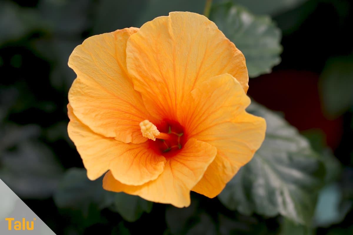 Sonne liebende Zimmerpflanzen, Chinesischer Roseneibisch, Hibiscus rosa sinensis