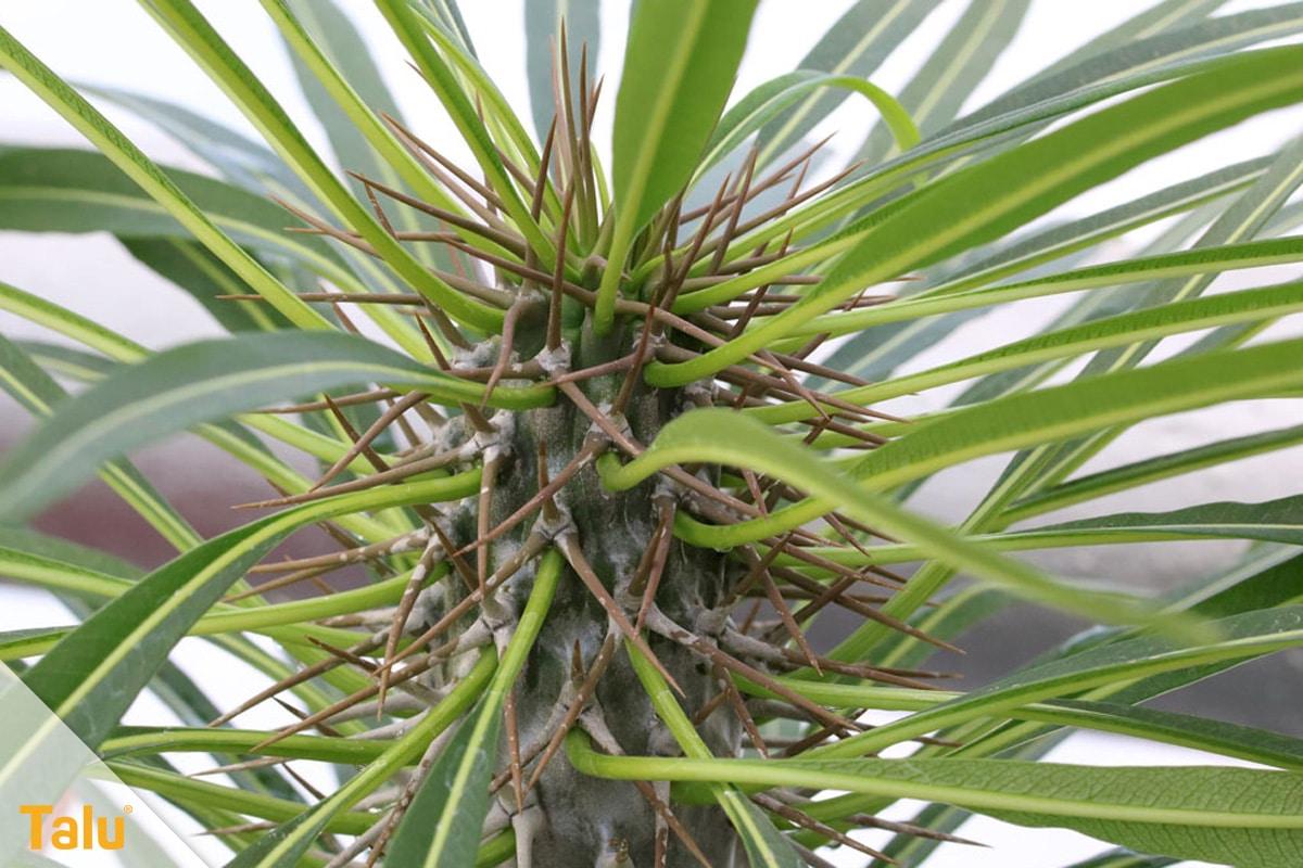 Sonne liebende Zimmerpflanzen, Madagaskarpalme, Pachypodium lamerei