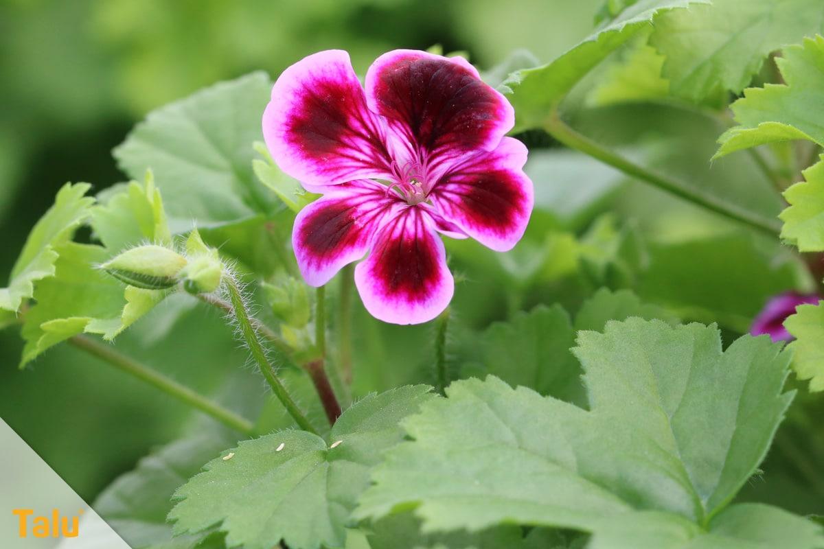 Sonne liebende Zimmerpflanzen, Edelgeranie, Pelargonium randiflorum