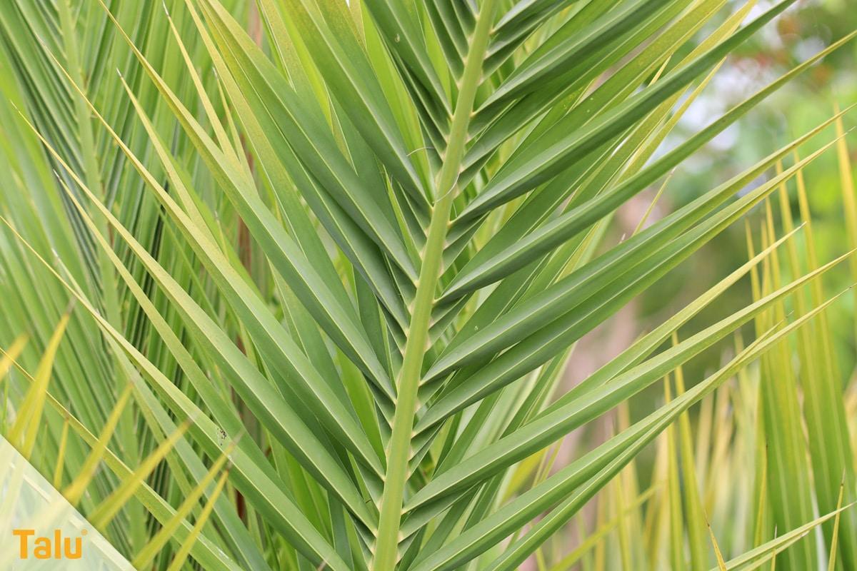 Sonne liebende Zimmerpflanzen, Kanarische Dattelpalme, Phoenix canariensis