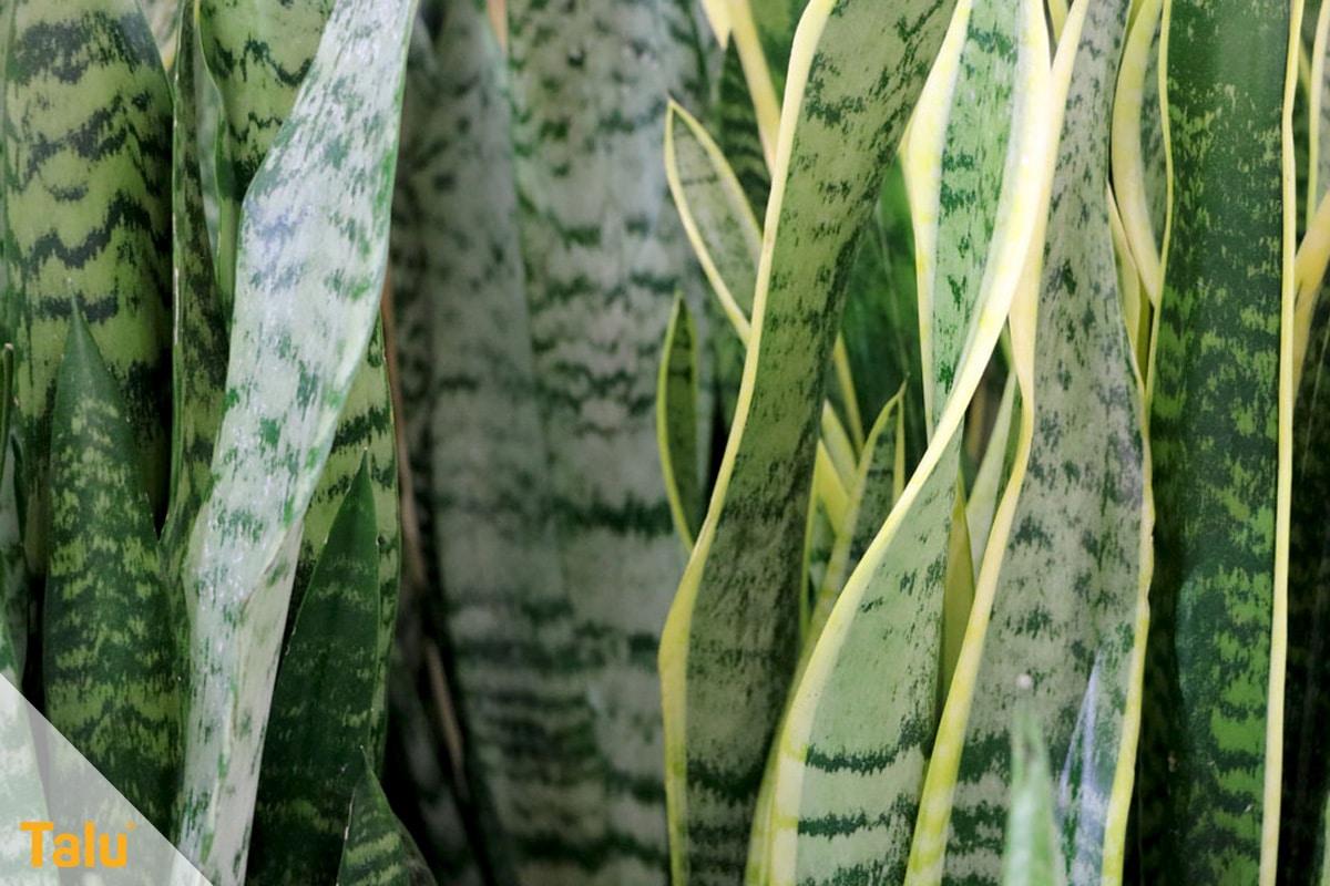 Sonne liebende Zimmerpflanzen, Bogenhanf, Sansevieria trifasciata