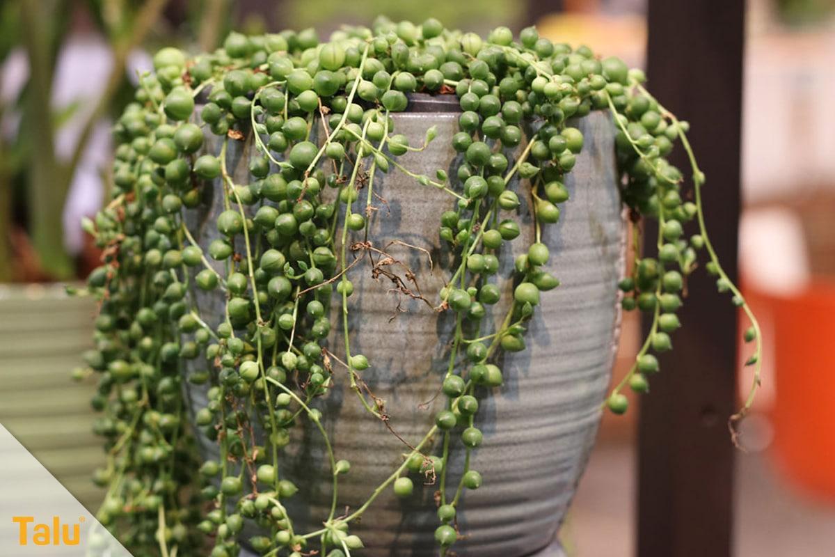 Sonne liebende Zimmerpflanzen, Erbsenpflanze, Senecio rowleyanus