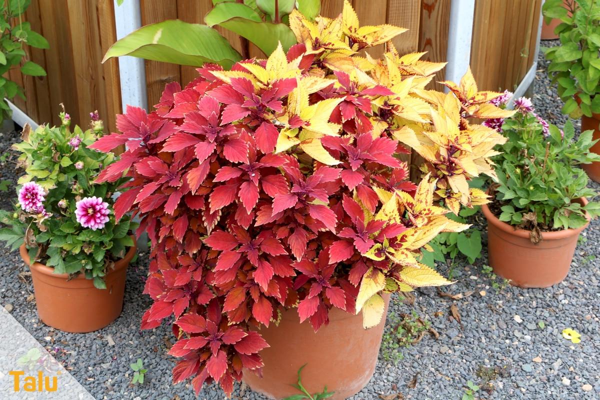 Sonne liebende Zimmerpflanzen, Buntnessel, Solenostemon scutellarioides