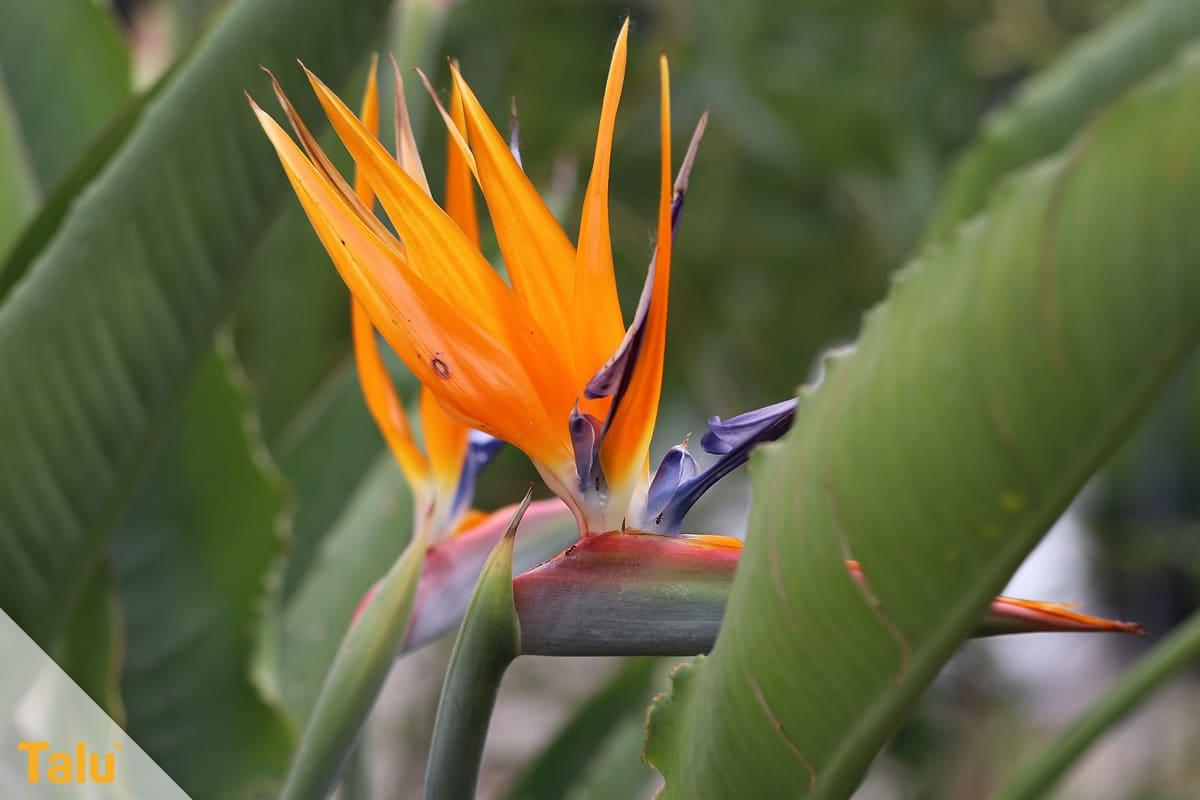 Sonne liebende Zimmerpflanzen, Paradiesvogelblume, Strelitzia reginae