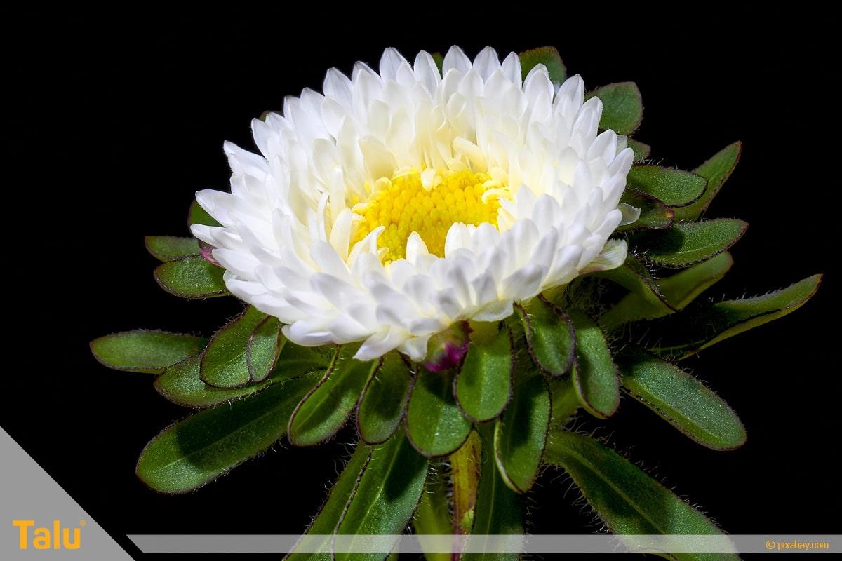 Sonne liebende Zimmerpflanzen, Winteraster, Hortorum