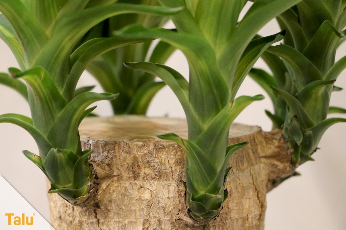 Sonne liebende Zimmerpflanzen, Yucca-Palme, Palmlilie