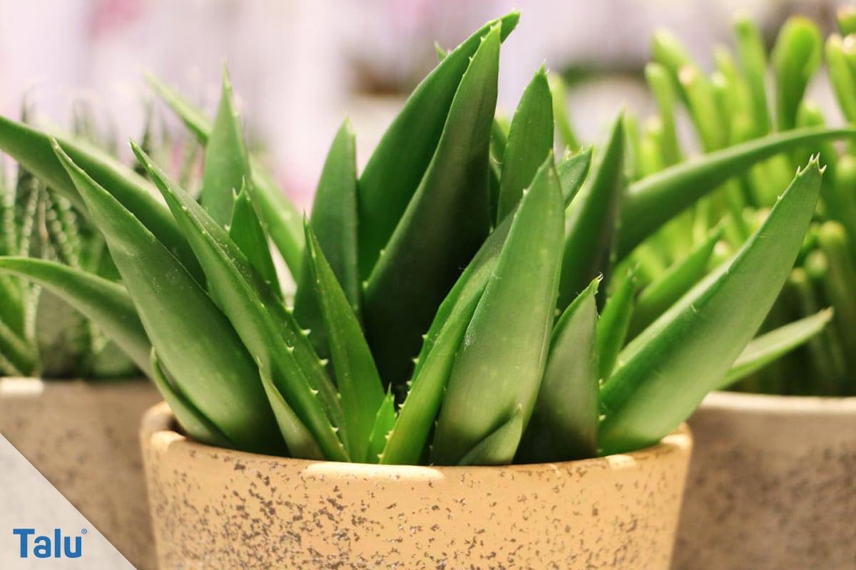 Terrakotta kleben, Terracotta-Töpfe reparieren, Aloe-Vera-Pflanze im Topf