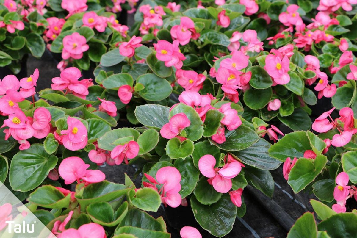 ideale Balkonpflanzen für schattige Standorte,