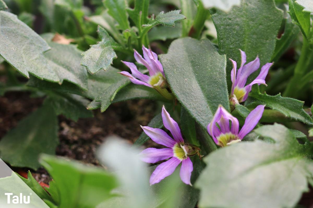 ideale Balkonpflanzen für schattige Standorte, Blaue Fächerblume