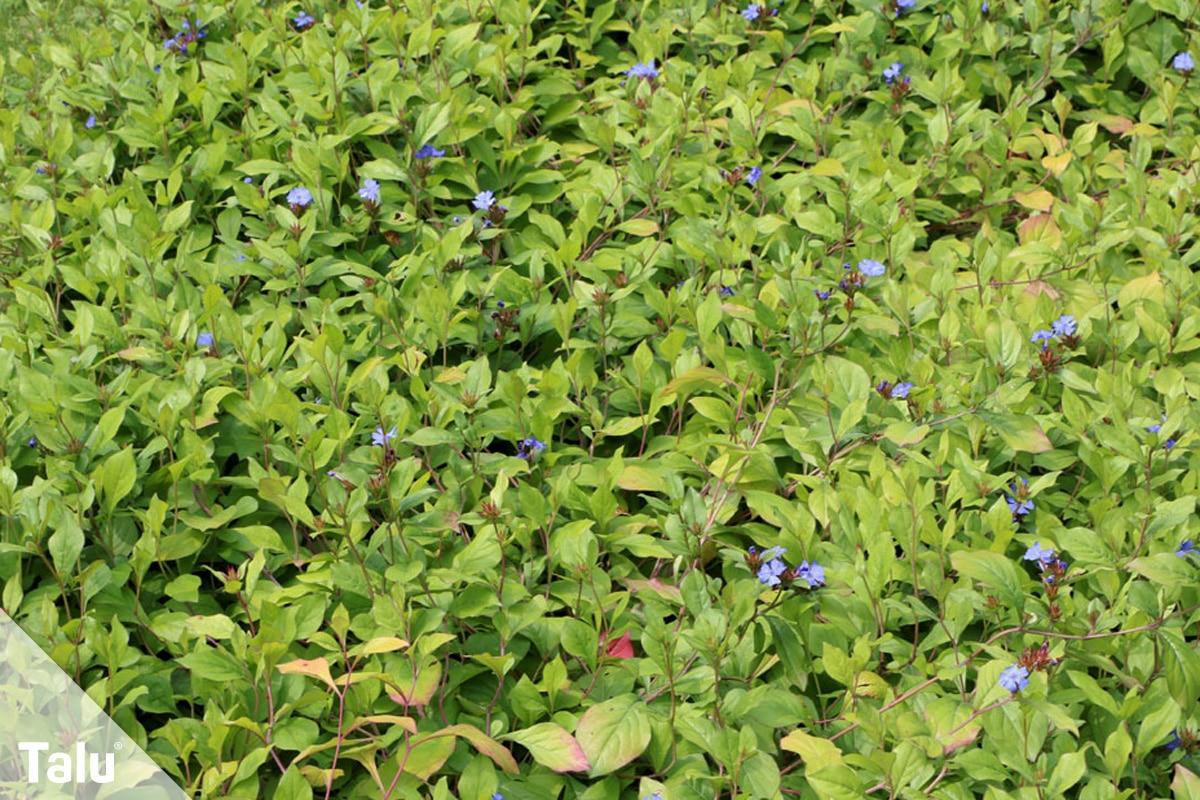 ideale Balkonpflanzen für schattige Standorte, Bleiwurz