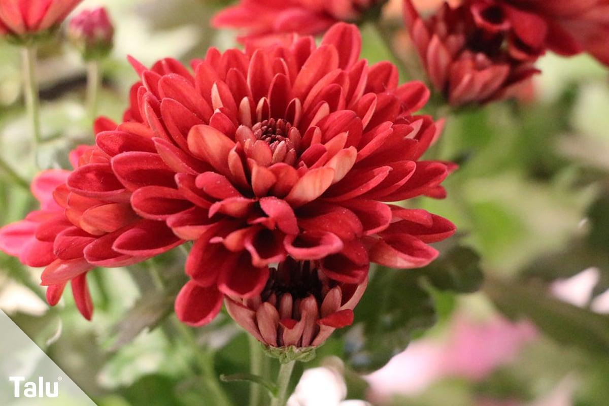 ideale Balkonpflanzen für schattige Standorte, Chrysanthemen