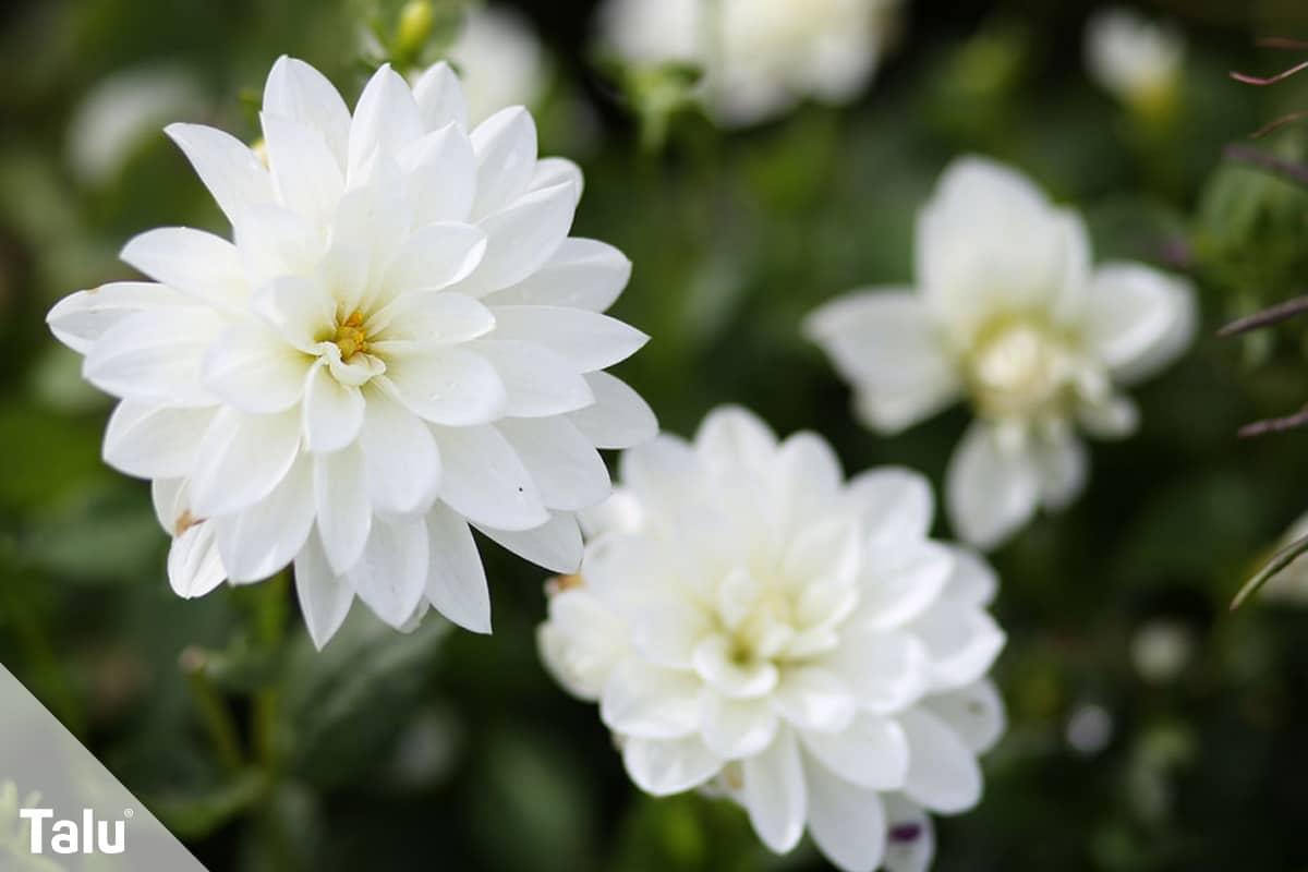 ideale Balkonpflanzen für schattige Standorte, Dahlien